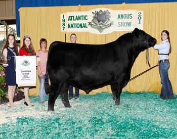 Senior Champion Bull