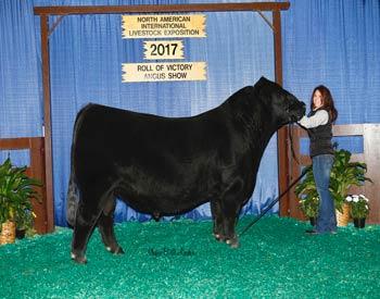 Reserve Senior Champion Bull