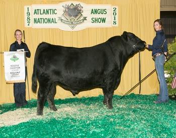 Reserve Senior Bull Calf Champion