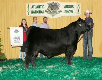 Late Spring Bull Calf Champion