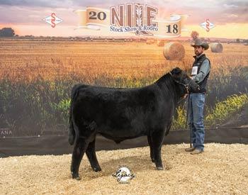 Senior Bull Calf Champion