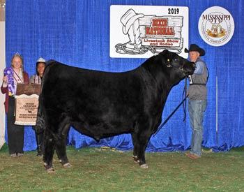 Junior Champion Bull