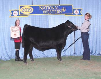 Senior Bull Calf Champion - Div 1